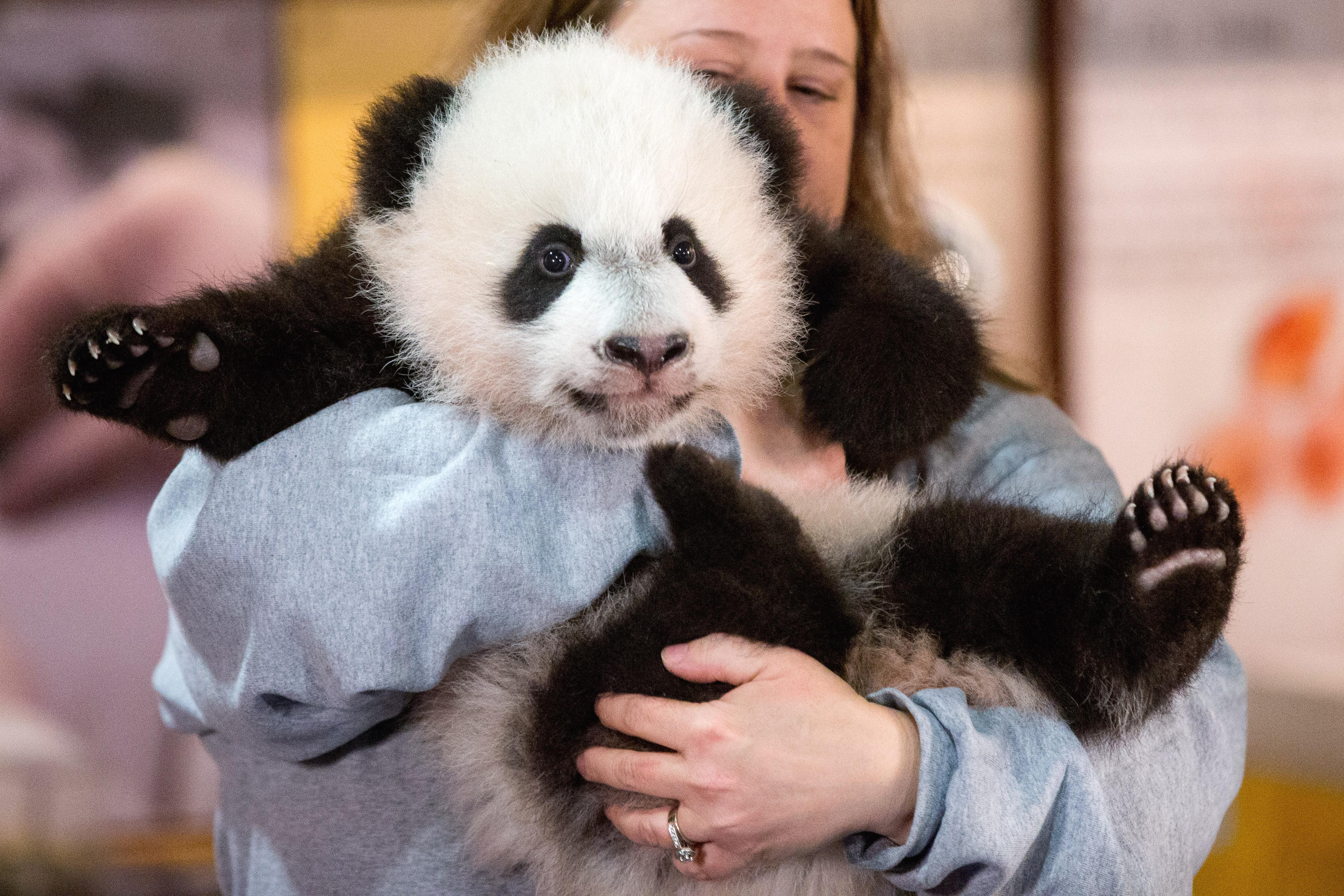 'Bye Bye Bei Bei': Giant panda to leave National Zoo in D.C., move to China in November
