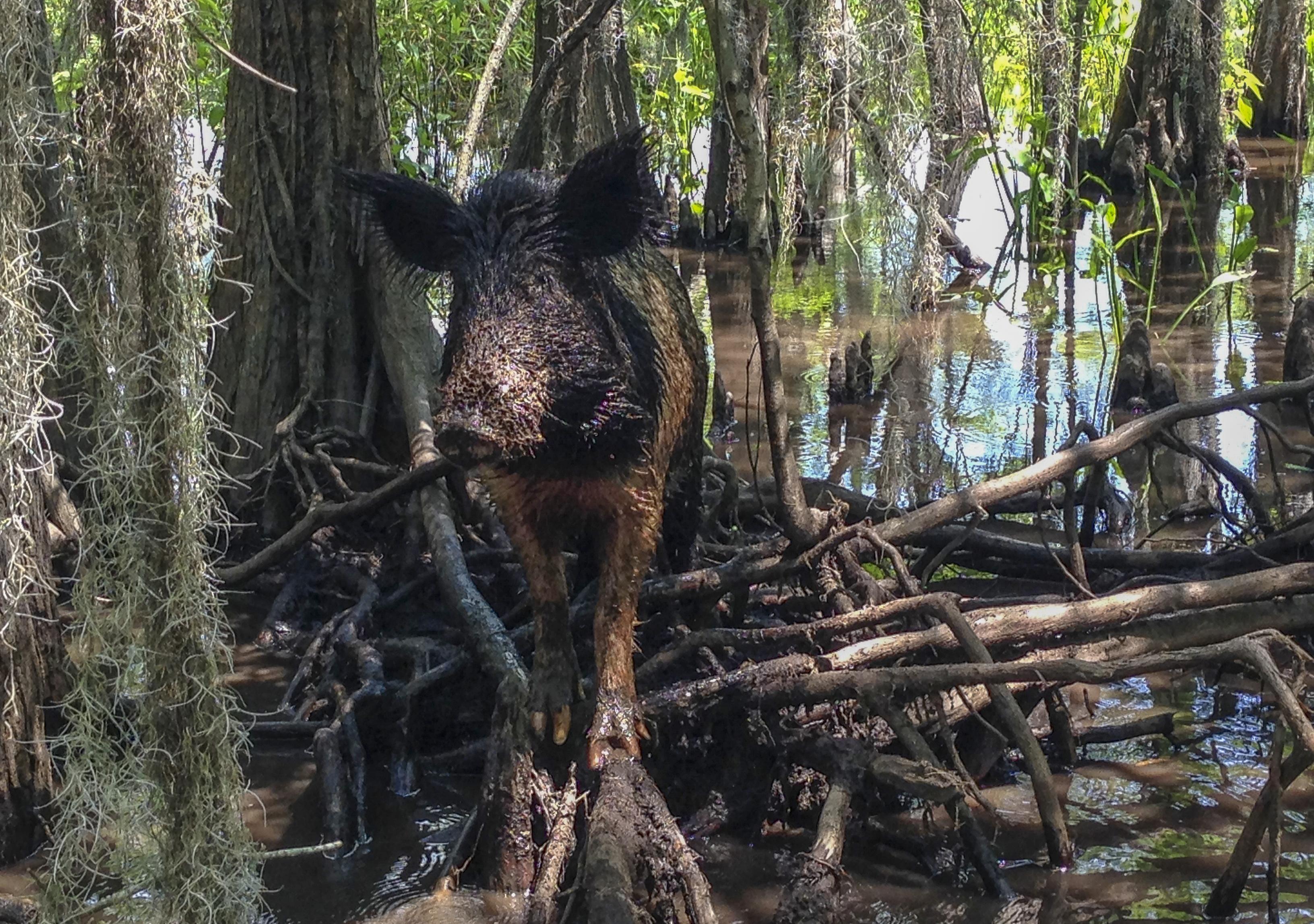 Florida residents complain pig family ruining neighborhood