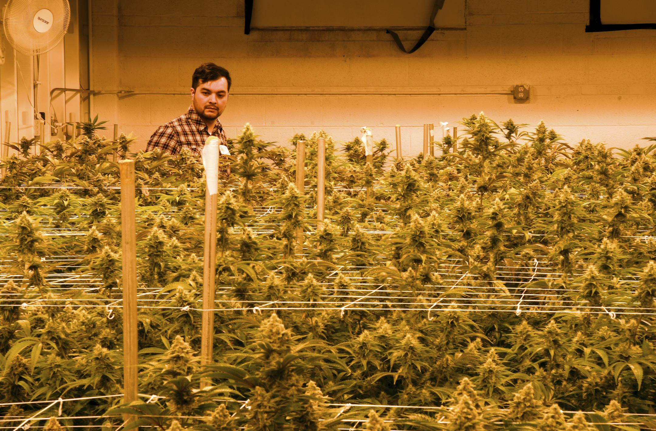 Marijuana crimes may cost migrants chance at citizenship