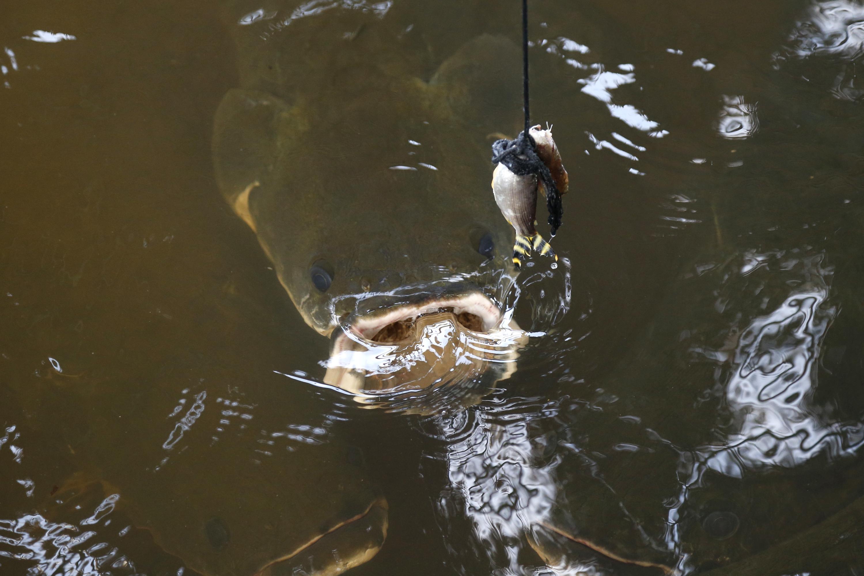 Pirarucu, piranha-frustrating fish, intrigues Air Force