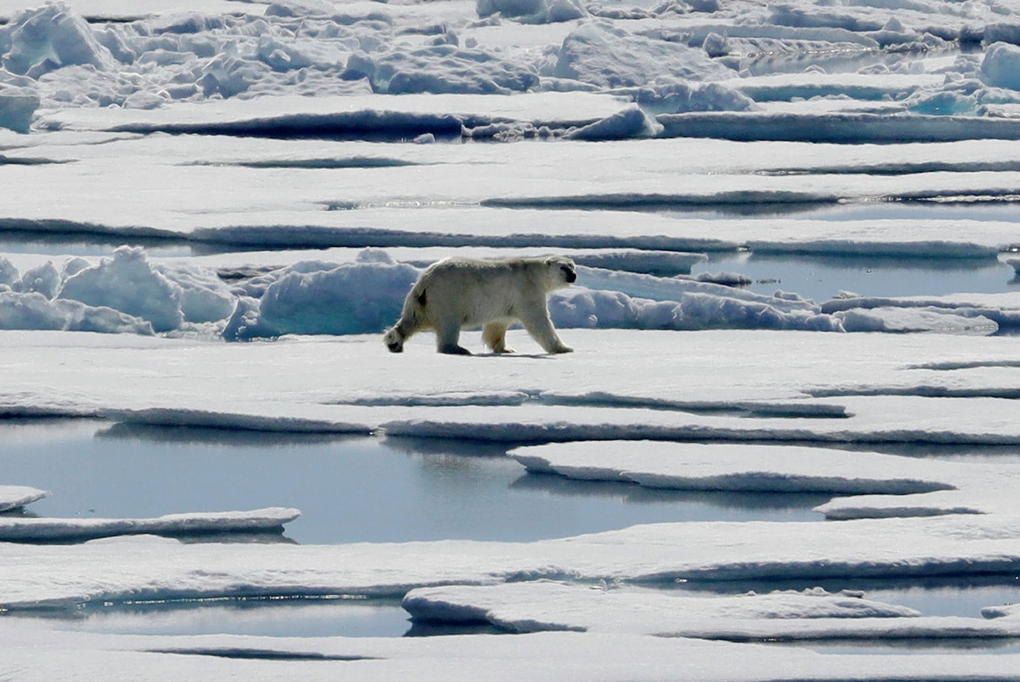 Susan Crockford fired after finding polar bears thriving despite climate change